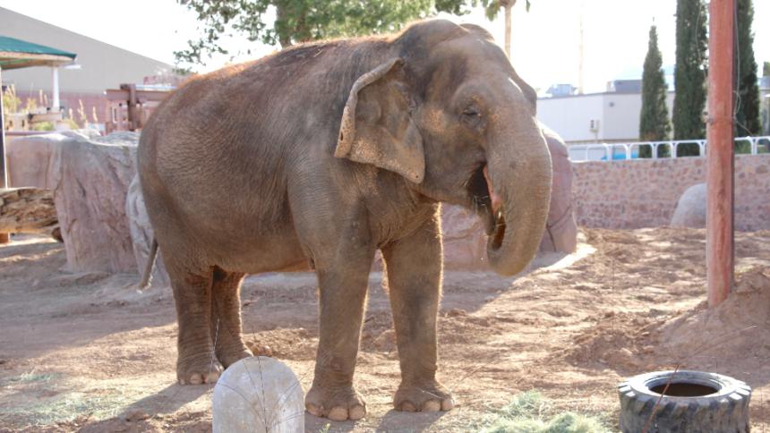 juno_elephant