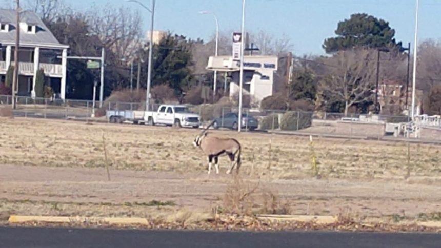 Injured Large Oryx Antelope Found Wandering Las Cruces Is Euthanized Kvia