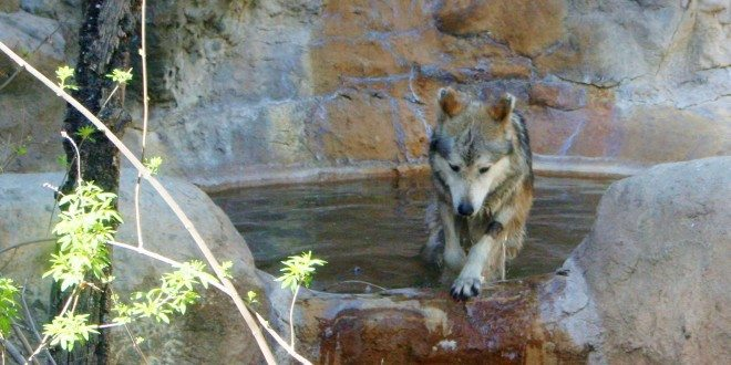 Zephyr-Mexican-Gray-Wolf