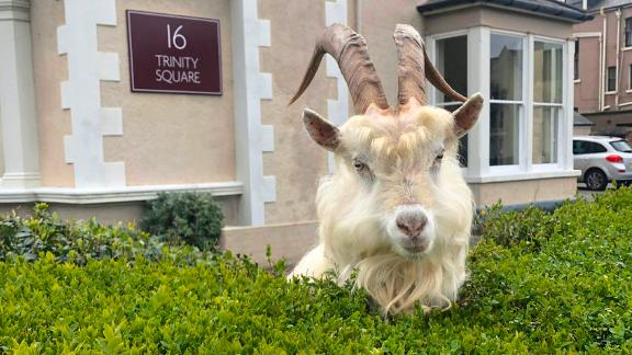 A wild goat is seen in this file photo.