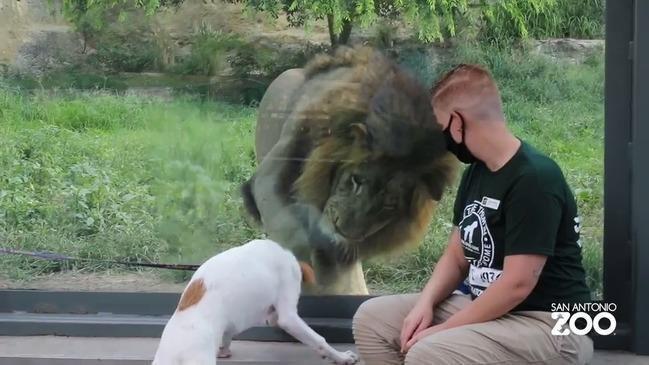 dog meets lion