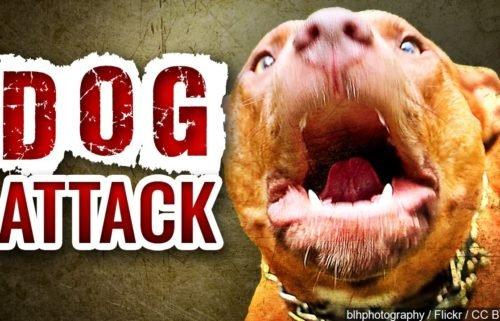 dog attack pit bull