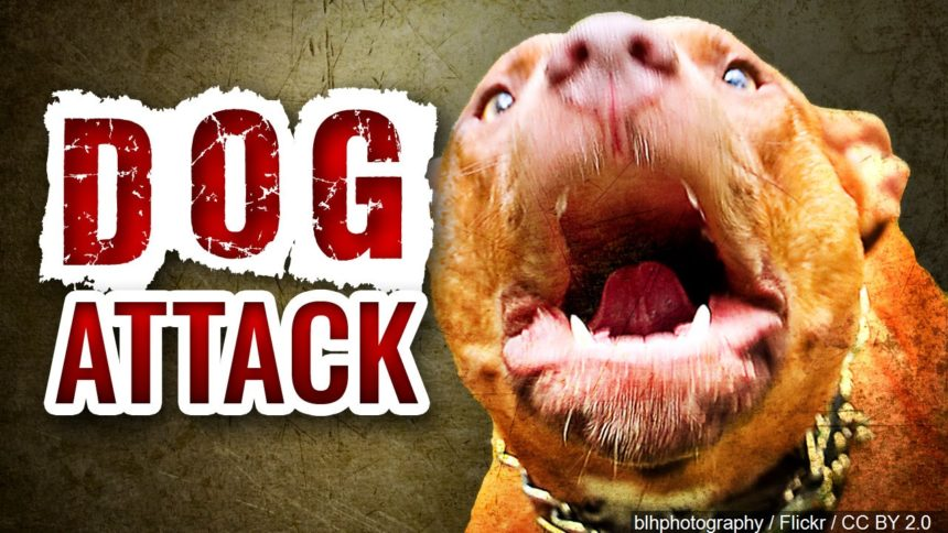 dog attack pit bull