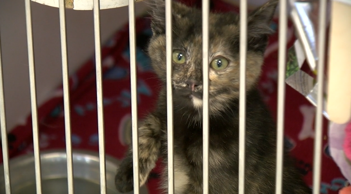 A cat at Animals Services of El Paso.