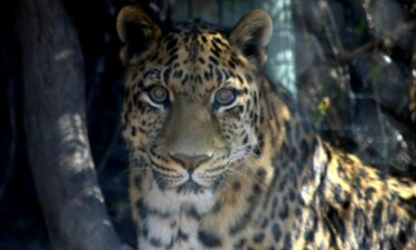 Ivan the leopard