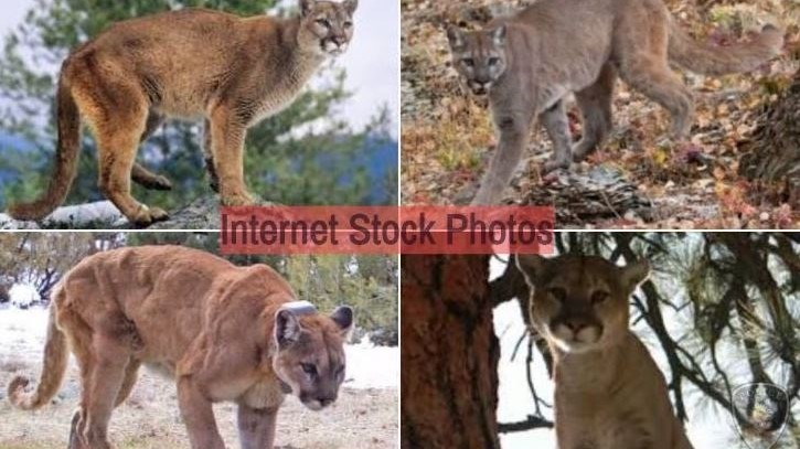 Big_Cats_collage