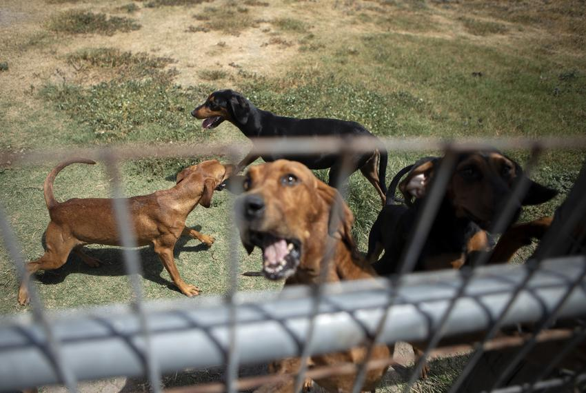 Bloodhounds are held in a pen in Refugio, Texas.