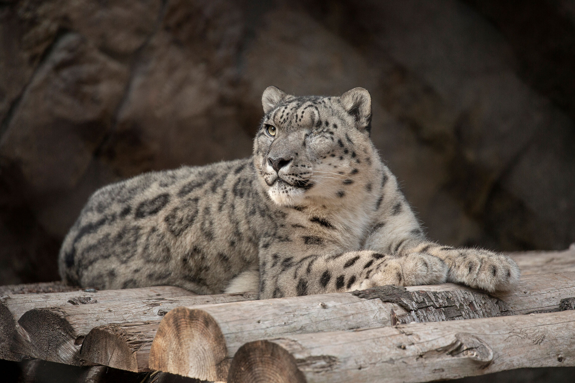 <i>Tammy Spratt/San Diego Zoo Wildlife Alliance/AP</i><br/>A male snow leopard at the San Diego Zoo tested positive for SARS-CoV-2 after showing symptoms of a cough and nasal discharge.