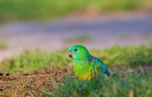 A red-rumped parrot