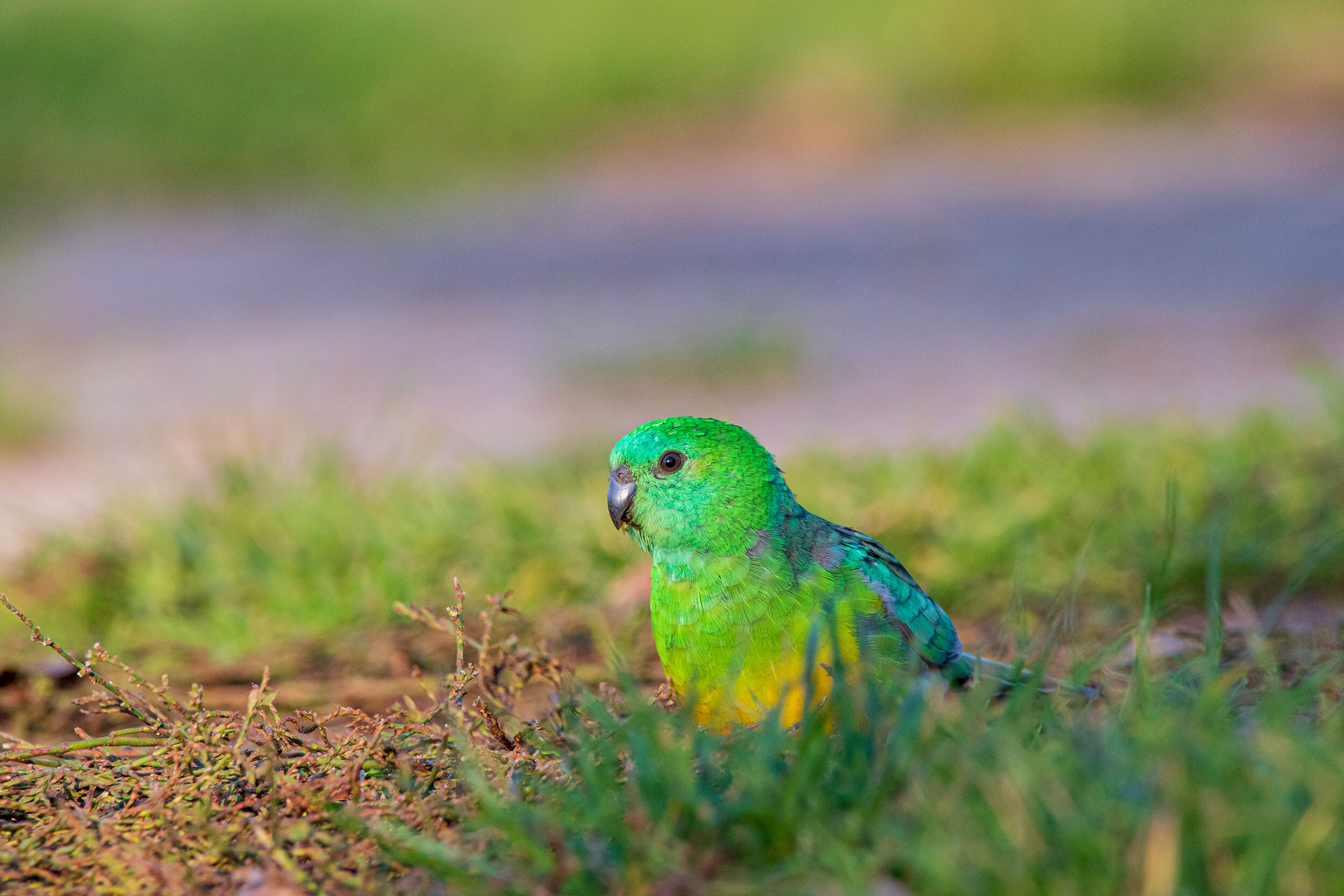 <i>Ryan Barnaby</i><br/>A red-rumped parrot