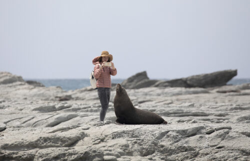 A tourist takes pictures of a New Zealand fur sealat the Kaikoura Seal Colony in Kaikoura