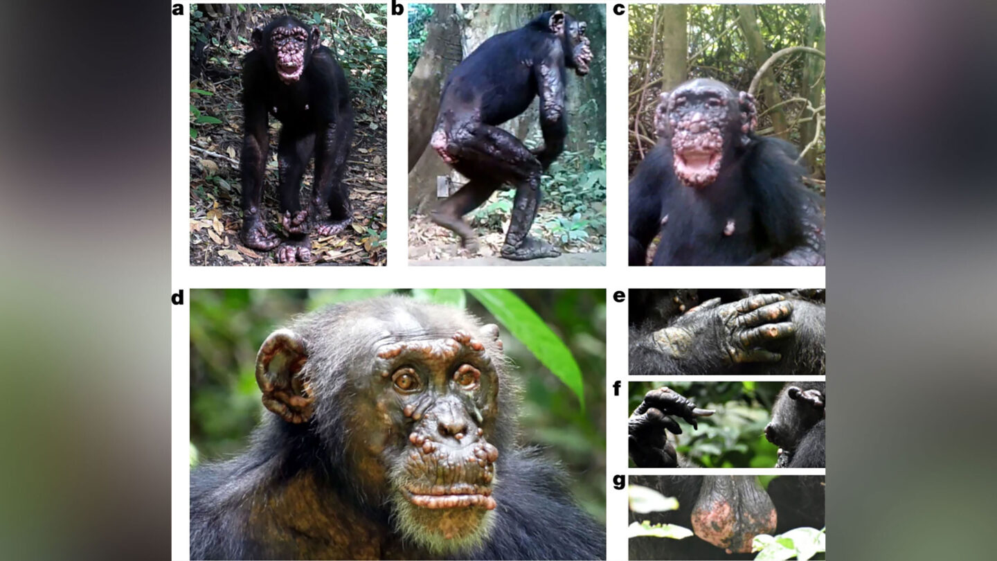 <i>from Nature.com</i><br/>These wild chimpanzees in West Africa show physical symptoms of leprosy